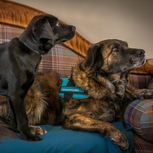 firbent terapi hvordan trene en terapihund